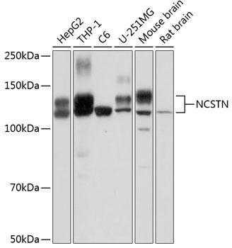 Signal Transduction Antibodies 2 Anti-NCSTN Antibody CAB0128