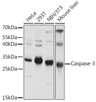 Cell Death Antibodies 1 Anti-Caspase-3 Antibody CAB0214