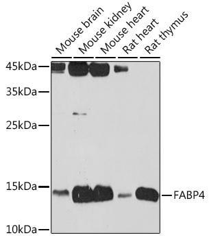 Signal Transduction Antibodies 2 Anti-FABP4 Antibody CAB0232