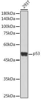 Cell Death Antibodies 1 Anti-p53 Antibody CAB0263
