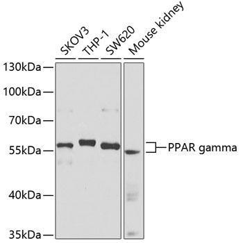 Cell Biology Antibodies 1 Anti-PPAR gamma Antibody CAB0270