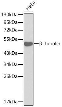 Cell Biology Antibodies 1 Anti-Beta-Tubulin Antibody CAB0482
