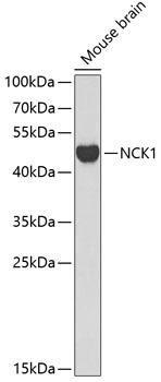 Signal Transduction Antibodies 1 Anti-NCK1 Antibody CAB0999
