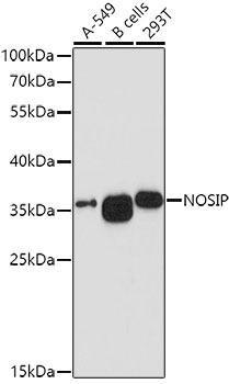 Signal Transduction Antibodies 1 Anti-NOSIP Antibody CAB10024