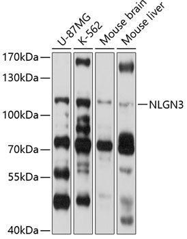Cell Biology Antibodies 1 Anti-NLGN3 Antibody CAB10310