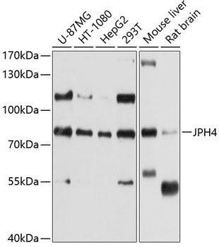 Cell Biology Antibodies 1 Anti-JPH4 Antibody CAB10333