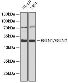 Cell Biology Antibodies 1 Anti-EGLN1/EGLN2 Antibody CAB10342