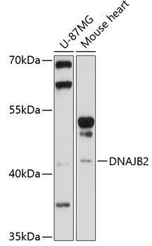 Cell Biology Antibodies 1 Anti-DNAJB2 Antibody CAB10345