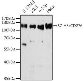 Cell Biology Antibodies 1 Anti-B7-H3/CD276 Antibody CAB10347