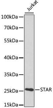 Cell Biology Antibodies 1 Anti-STAR Antibody CAB1035