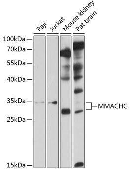 Cell Biology Antibodies 1 Anti-MMACHC Antibody CAB10355