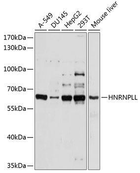 Cell Biology Antibodies 1 Anti-HNRPLL Antibody CAB10360