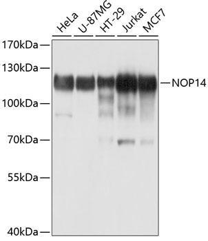 Cell Biology Antibodies 1 Anti-NOP14 Antibody CAB10361