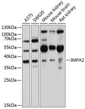 Cell Biology Antibodies 1 Anti-IMPA2 Antibody CAB10371