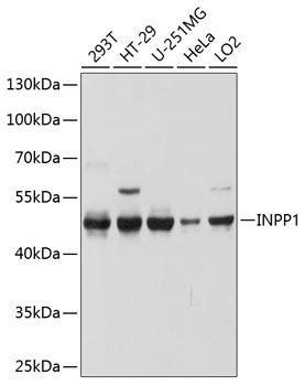 Cell Biology Antibodies 1 Anti-INPP1 Antibody CAB10372