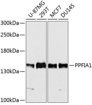 Cell Biology Antibodies 1 Anti-PPFIA1 Antibody CAB10388