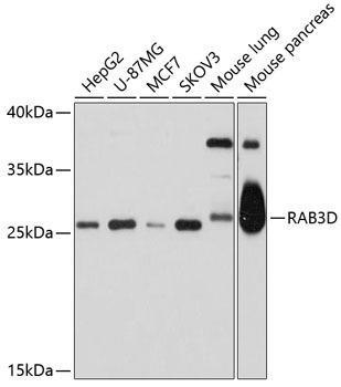 Cell Biology Antibodies 1 Anti-RAB3D Antibody CAB10390