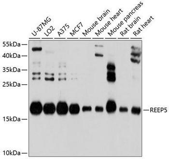 Cell Biology Antibodies 1 Anti-REEP5 Antibody CAB10392