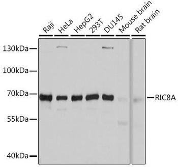 Cell Biology Antibodies 1 Anti-RIC8A Antibody CAB10393
