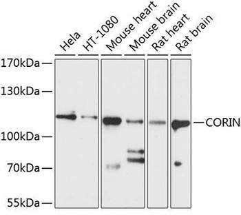 Cell Biology Antibodies 1 Anti-CORIN Antibody CAB10404