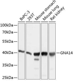 Cell Biology Antibodies 1 Anti-GNA14 Antibody CAB10405