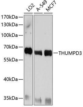 Cell Biology Antibodies 1 Anti-THUMPD3 Antibody CAB10407