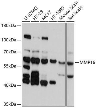 Cell Biology Antibodies 1 Anti-MMP16 Antibody CAB10409