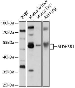 Cell Biology Antibodies 1 Anti-ALDH3B1 Antibody CAB10415