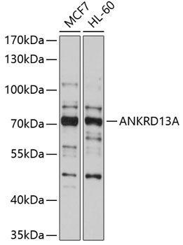 Cell Biology Antibodies 1 Anti-ANKRD13A Antibody CAB10416
