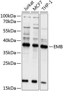 Cell Biology Antibodies 1 Anti-EMB Antibody CAB10423