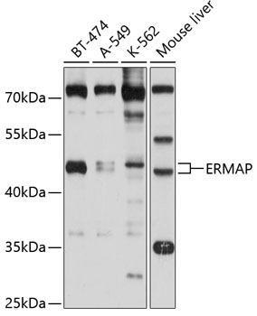 Cell Biology Antibodies 1 Anti-ERMAP Antibody CAB10425