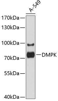 Cell Biology Antibodies 1 Anti-DMPK Antibody CAB10442