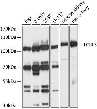Cell Biology Antibodies 1 Anti-FCRL3 Antibody CAB10451