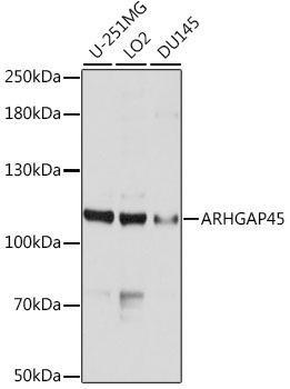 Cell Biology Antibodies 1 Anti-ARHGAP45 Antibody CAB10454