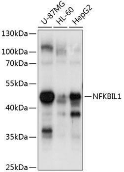 Cell Biology Antibodies 1 Anti-NFKBIL-1 Antibody CAB10456