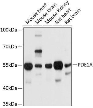 Cell Biology Antibodies 1 Anti-PDE1A Antibody CAB10457