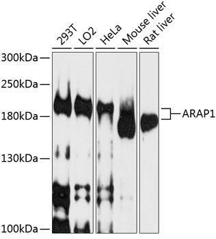 Cell Biology Antibodies 1 Anti-ARAP1 Antibody CAB10466