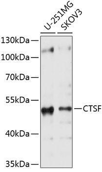 Cell Biology Antibodies 1 Anti-CTSF Antibody CAB10469