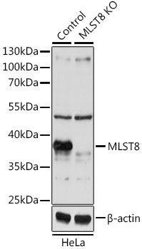 KO Validated Antibodies 1 Anti-MLST8 Antibody CAB1059KO Validated