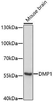 Signal Transduction Antibodies 1 Anti-DMP1 Antibody CAB11076