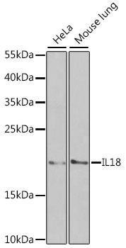 KO Validated Antibodies 1 Anti-IL-18 Antibody CAB1115KO Validated