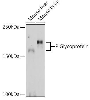 Signal Transduction Antibodies 1 Anti-P Glycoprotein Antibody CAB11747