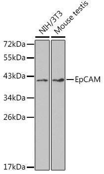 Cell Biology Antibodies 2 Anti-EpCAM Antibody CAB1177