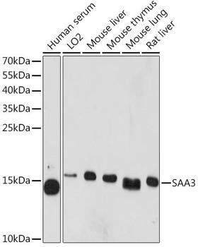 Cell Biology Antibodies 16 Anti-SAA3 Antibody CAB11948