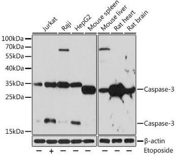 KO Validated Antibodies 1 Anti-Caspase-3 Antibody CAB11953KO Validated