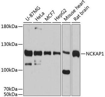 Immunology Antibodies 1 Anti-NCKAP1 Antibody CAB12229