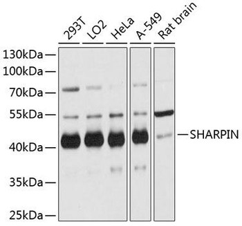 Signal Transduction Antibodies 1 Anti-SHARPIN Antibody CAB12240