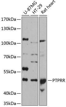 Cell Biology Antibodies 2 Anti-PTPRR Antibody CAB12246