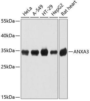 Signal Transduction Antibodies 1 Anti-ANXA3 Antibody CAB12379
