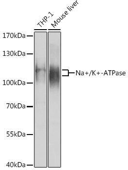 Signal Transduction Antibodies 1 Anti-Na/K-ATPase Antibody CAB12405
